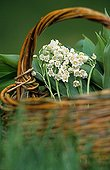 Lily of the valley in a basket in the Nantes region France