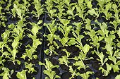 Organic salads sowings in Aveyron  France