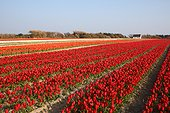 Field of tulips in Brittany  France