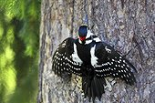 Great spotted woodpecker on a trunk Finland