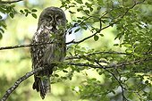 Great grey owl on a branch Finland
