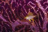 Golden Damselfish in front of Red Whip Gorgonian Indonesia