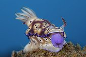 Risbecia's Nudibranch mouth out on reef Indonesia