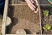 Sowing of radish under protection in a kitchen garden