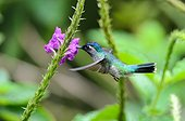 Violet-headed Hummingbird eating nectar Rara Avis Costa Rica