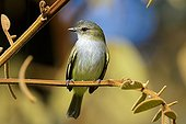 Paltry Tyrannulet on a branch Sarapiqui river Costa Rica