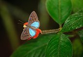 Blue-patched Eyed-Metalmark on flower Rara Avis Costa Rica