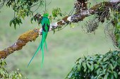 Resplendent Quetzal on a branch Las Tablas Costa Rica