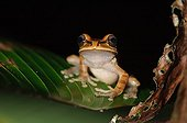 Masked Tree Frog on a leaf Coto Brus  Costa Rica
