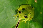Emerald Glass Frog on a leaf Coto Brus  Costa Rica