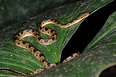 Cat-Eyed Snake on leaf Corcovado NP Costa Rica