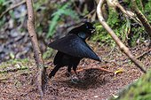 Western Parotia male courtship Arfak Mountains West Papua