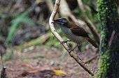 Western Parotia male courtship Arfak Mountains West Papua ; female observing male's coutship dance