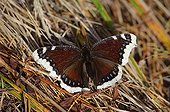 Mourning Cloak Butterfly Tatra National Park Slovakia