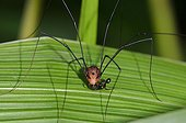 Harvestman on a leaf Arfak Mountains West Papua Indonesia