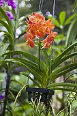 Vanda orchid in a greenhouse in Thailand