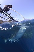 Whaleshark swims below a bagan fishing boat - West Papua ; Fishermen feed and watch a whaleshark