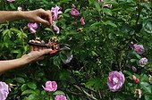 Cut of fading rose-tree flowers in a garden ; The cut of the faded flowers allow to prolong the flowering.
