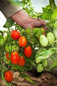 Harvest of elongated tomatoes under greenhouse in a garden
