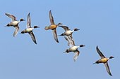 Pintail males surrounding a female in flight - France