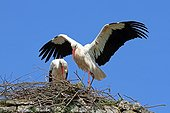 Couple of white storks at nest - Normandy France