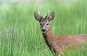 Buck roedeer in the grass - Normandy France