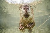 "European beaver underwater - Savoie France ; ""Golden Turtle"" 2013 - The underwater world"