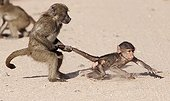 Young Chacma baboons playing- Kruger RSA