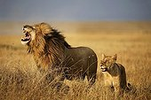 Couple Lions in Savannah - East Africa