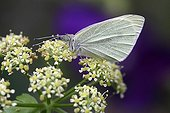 Large white on Alexanders blooming in a garden - France