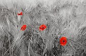 Blooming poppies in a wheat field - France