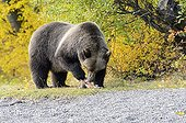 Grizzly eating a salmon - Chilcotin Mountains Canada