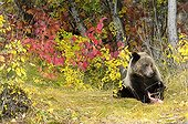 Grizzly eating a salmon - Chilcotin Mountains Canada ; Age: 2.5 years
