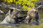 Grizzlys playing in water - Chilcotin Mountains Canada  ; Age: 2.5 years