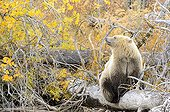 Grizzly sitting on a trunk - Chilcotin Mountains Canada  ; Age: 1.5 years