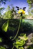 Damselfly on Yellow water lily flower - River Lez France