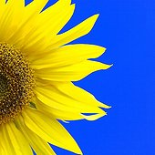Sunflower flower on blue sky background - Aquitaine France