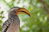 Portrait of Yellow-billed Hornbill - Namibia