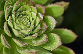 Aeonium after the rain - Tenerife Canary Islands