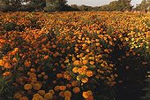 Culture French Marigold - Rajasthan India