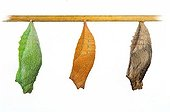 Swallowtail chrysalis on white background