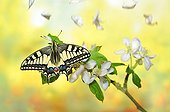 Swallowtail Butterfly on a branch Apple and petals - France
