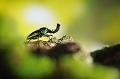 Green stag beetle in a sunbeam