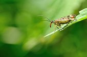 Scorpion fly on leaf  - France