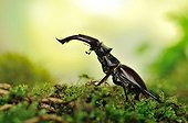 Stag beetle on moss - France