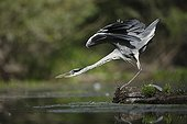 Grey Heron stretching on bank - Offendorf Alsace France