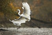 Great Egret flying away in autumn - Offendorf France