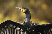 Great Cormorant drying in autumn - Offendorf France