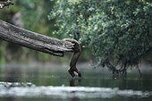 Pine marten crossing a river - Offendorf France