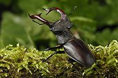 Stag beetle on moss - Alsace France